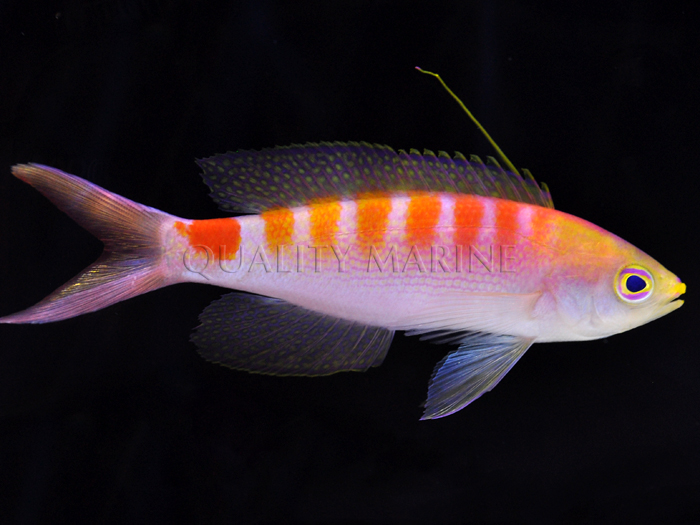 New Caledonia Anthias Quality Marine