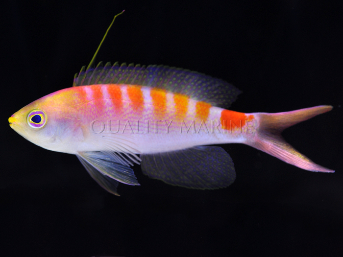 New Caledonia Deepwater Anthias Quality