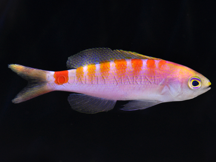 New Caledonia New Anthias Species
