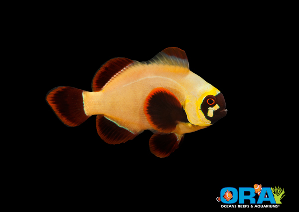 ORA Gold Nugget Clownfish