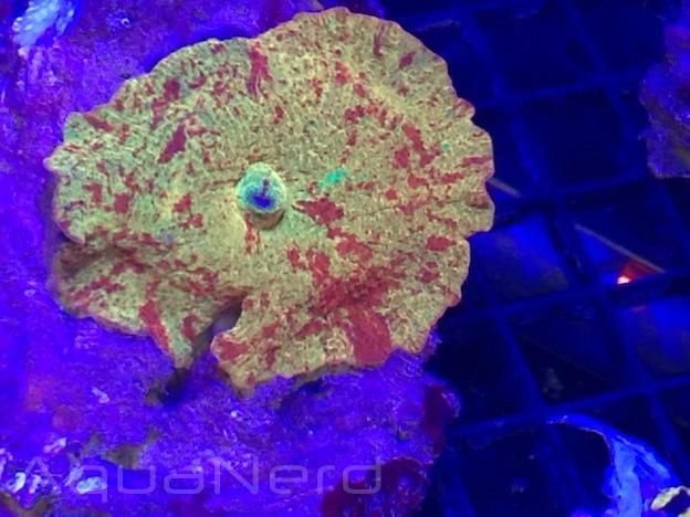 Sexy Corals Jawbreaker Mushroom