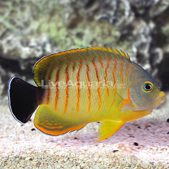 Tigerpyge Angelfish LiveAquaria