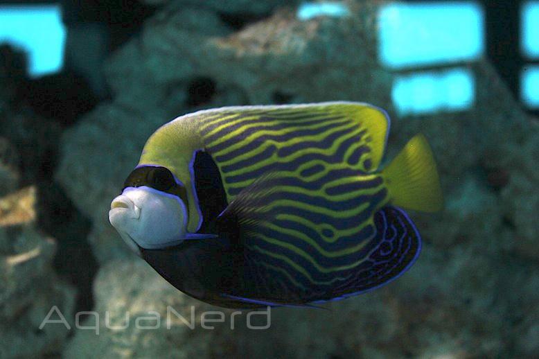 Emperor Angelfish Miami Seaquarium