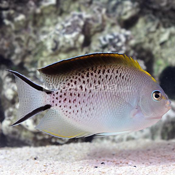 LiveAquaria Spotbreast X Lamarck_Bellus Hybrid