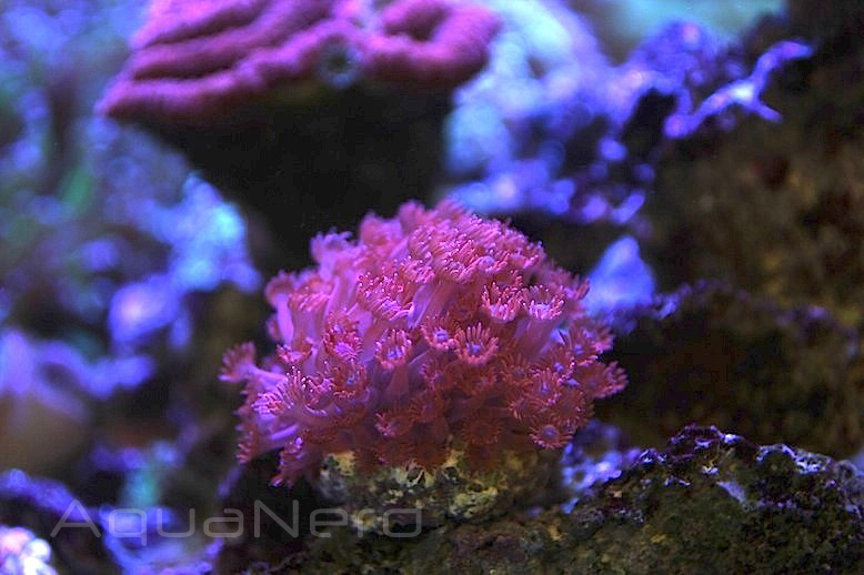 Red Flowerpot Coral