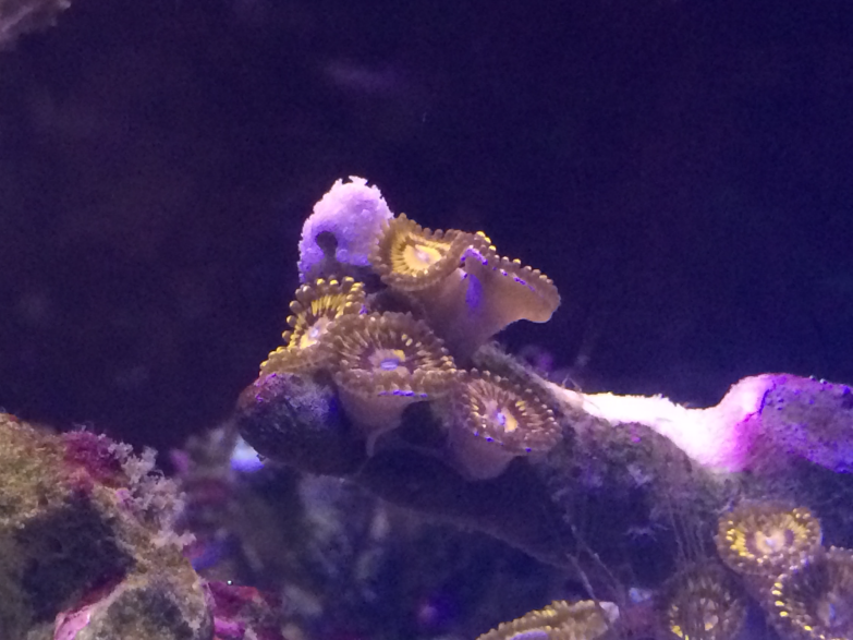 Zoanthids with Polarized Glasses
