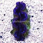Blue Squamosa