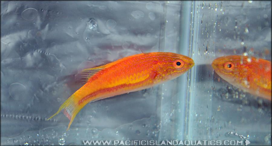 Cirrhilabrus squirei Pacific Island Aquatics