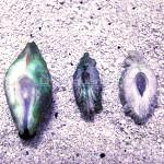 Crocea Squamosa Hybrid Byssal Opening