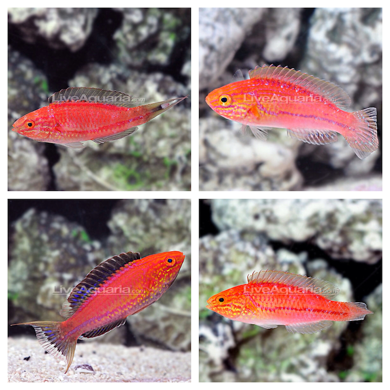 Divers Den Lunate and Pintail Wrasse