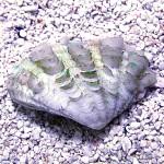 Tridacna squamosa x crocea Hybrid Side Shot