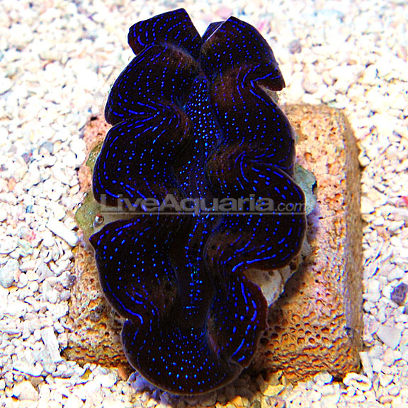 Indonesian Cultured Squamosa Crocea Hybrid Clam