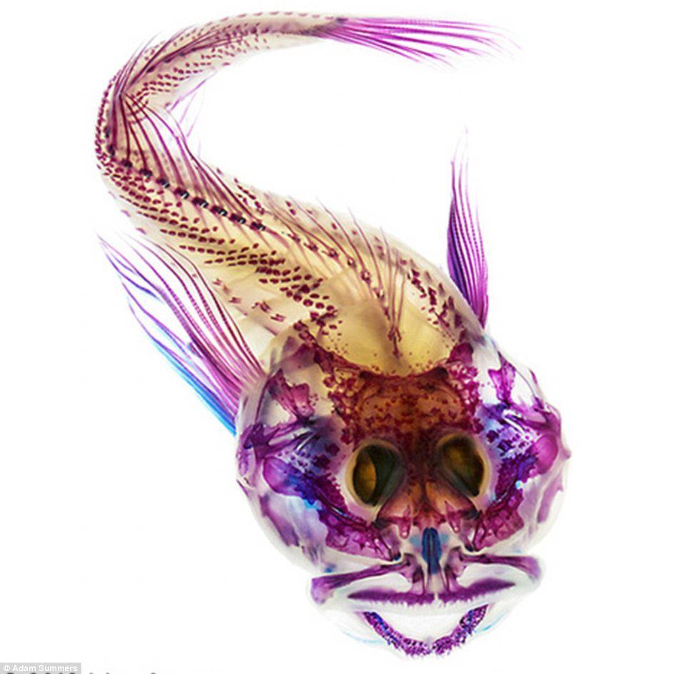 Interior Fish Scalyhead Sculpin