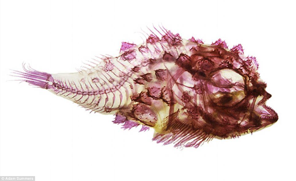 Interior Fish Spiny Lumpsucker