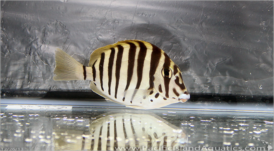 Mauitius Convict Tang