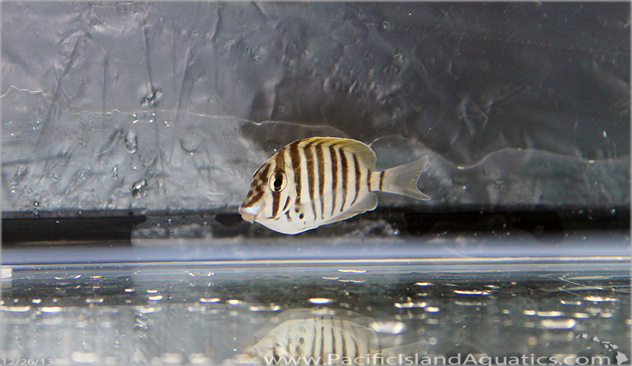Mauritius Convict Tang