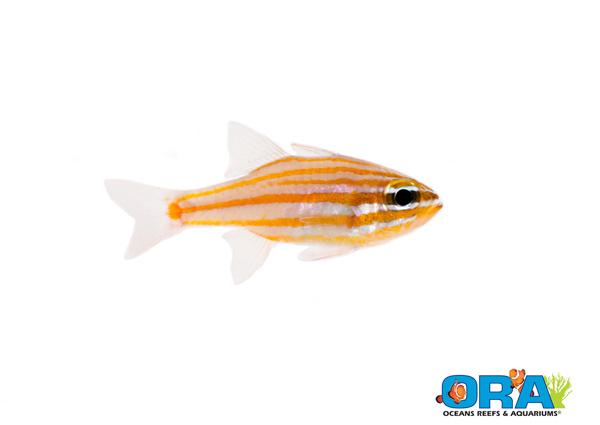 ORA Yellowstriped Cardinalfish