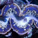 Red Sea Maxima Clams