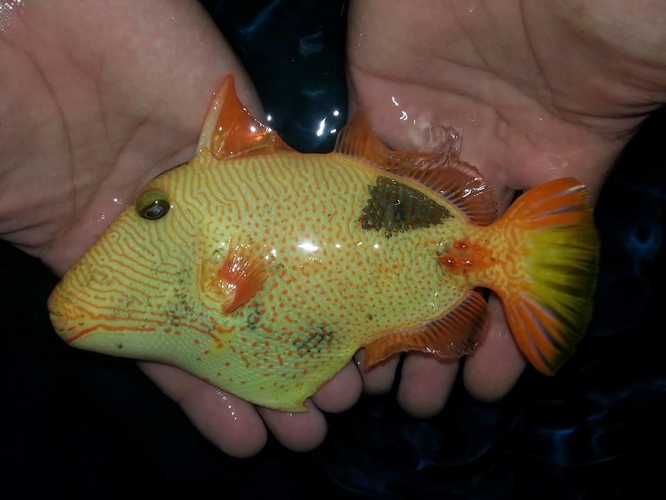 Xanthic Undulate Triggerfish