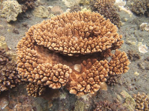 Acropora gemmifera West Hawaii