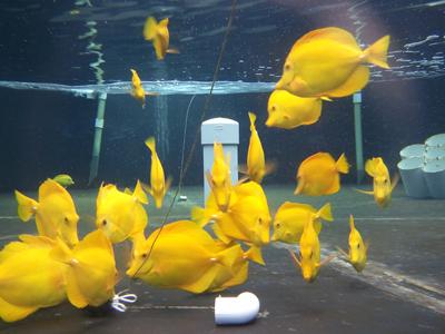 Captive Bred Yellow Tang