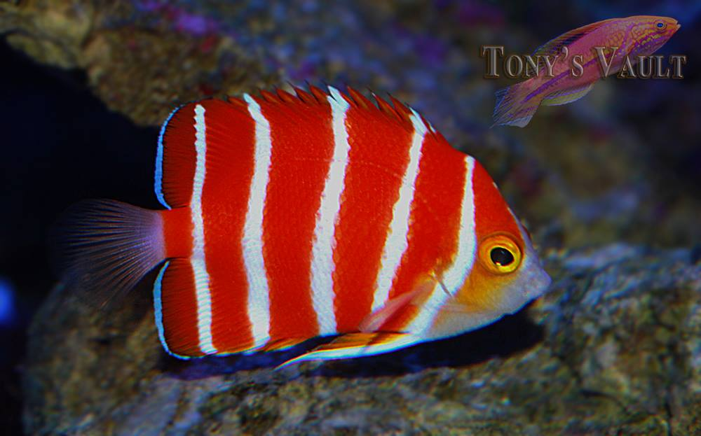 Peppermint Angelfish Tony's Vault