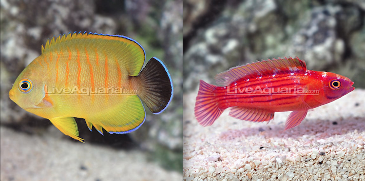 Tigerpyge and Earlei's Fairy Wrasse