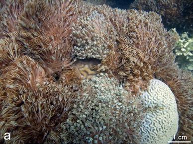 Xenia Invading Caribbean Reefs
