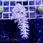 Acropora echinata Unique Corals