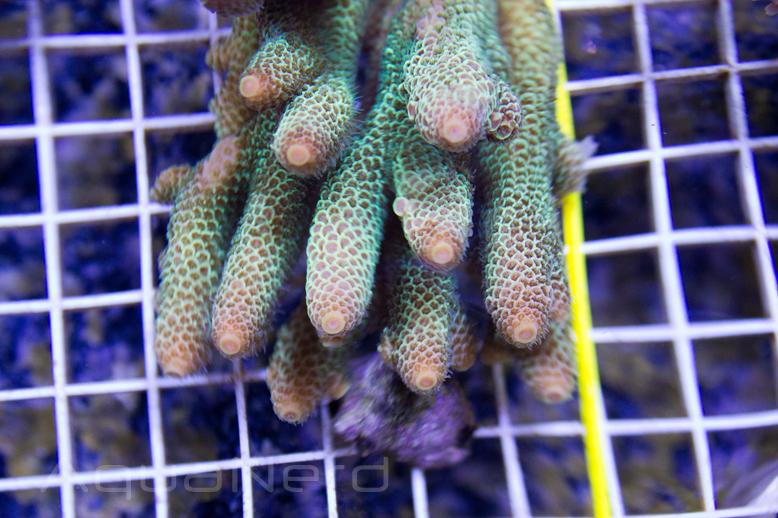 Acropora millepora Unique Corals