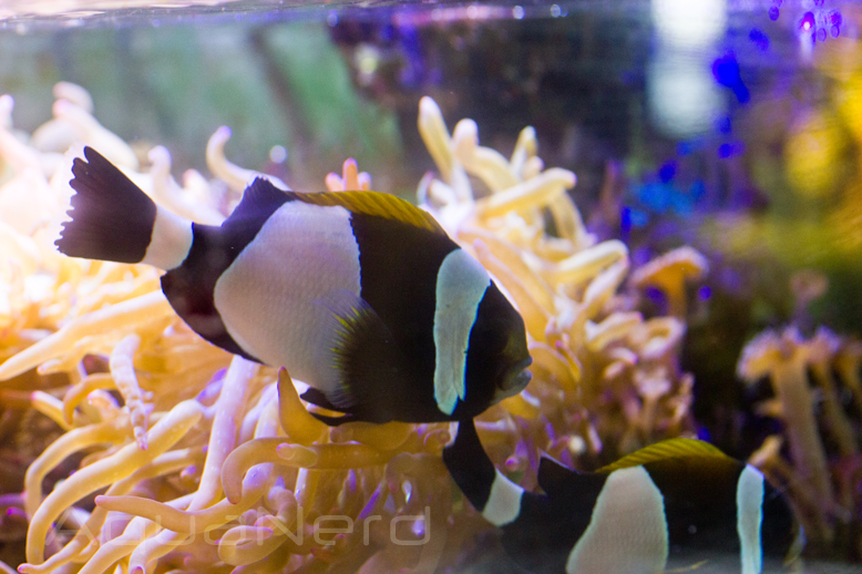 Amphiprion latezonatus SDC