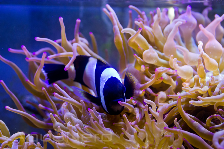 Amphiprion latezonatus Sea Dwelling Creatures