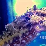 ReefGen Captive Bred Bandensis Cuttlefish
