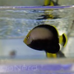 Black Velvet Angelfish SDC