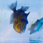 Blueline Triggerfish SDC