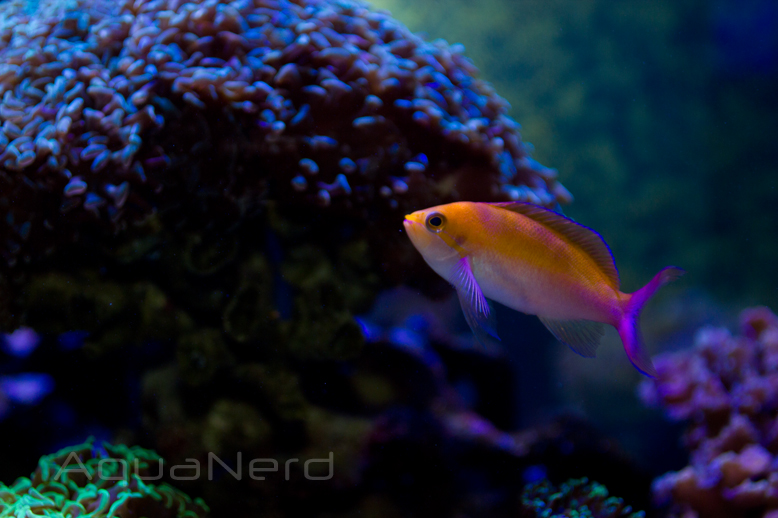 Dispar Anthias