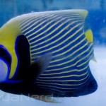 Emperor Angelfish SDC