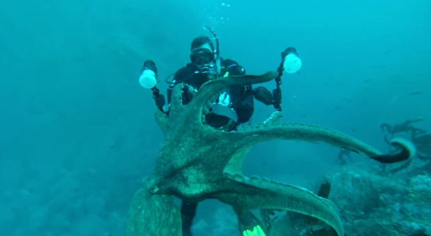 Giant Pacific Octopus Grabs Diver