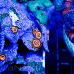 Gold Maul Polyp Unique Corals