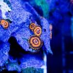Gold Maul Unique Corals