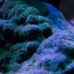 Green Chalice Coral