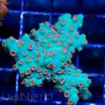 Green Cyphastrea Unique Corals