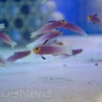 Helfrichi Firefish SDC