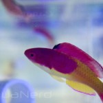 Hooded Fairy Wrasse SDC