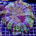 Huge Acanthophyllia Unique Corals