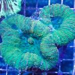 Green Lobophyllia Unique Corals