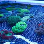 LPS Corals Unique Corals