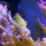 Latezonatus Clownfish Eggs SDC