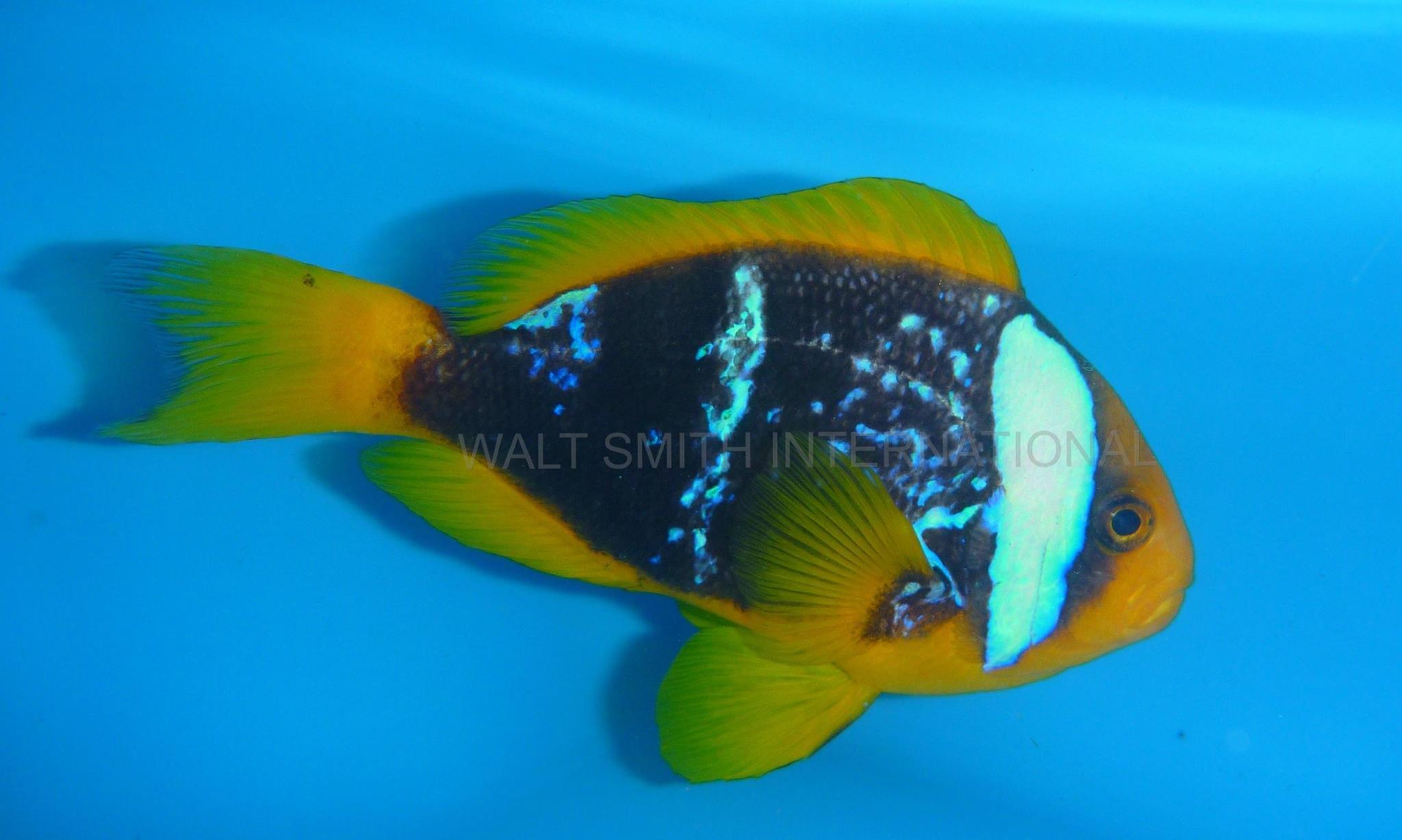 Lightning Blue Stripe Clownfish