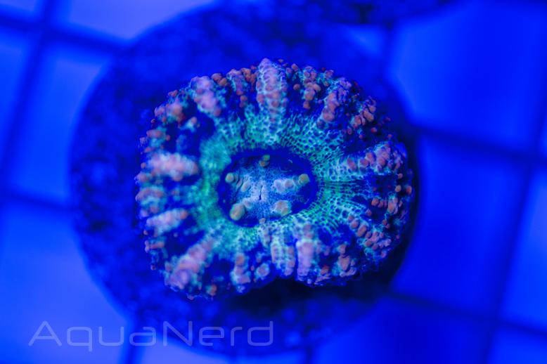 Mini Scolymia Coral